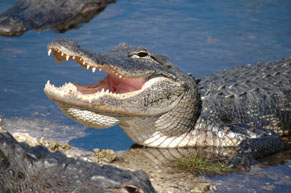 Alligator in the water with it's mouth open