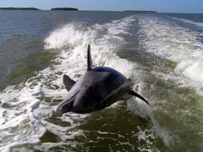Dolphin leaping out of the water