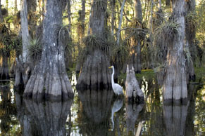 Great Egret standing in Cypress Swamp