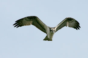 Osprey hovering in the sky