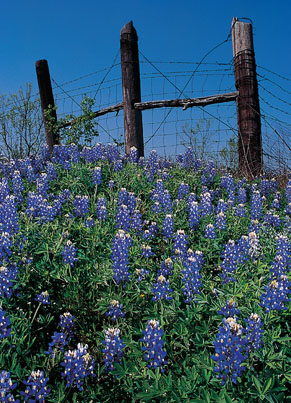 Bluebonnet covered hill