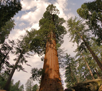 Looking up to the top of some Sequoia trees