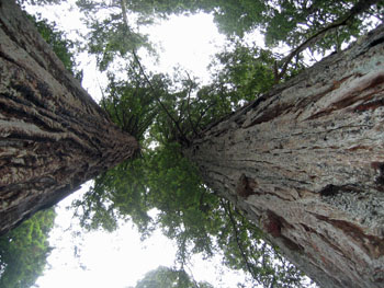 Look up at two Coastal Redwood Trees