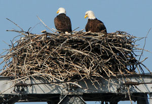 Two Bald Eagles in their nest