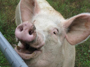 Happy friendly Pig at the Farm Sanctuary