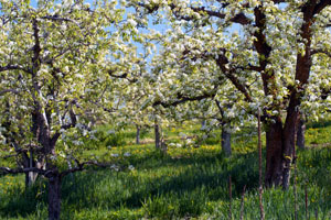 Apple Orchard in Wenatchee Valley