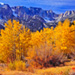 Golden leaves of aspen trees in Yosemite National Park