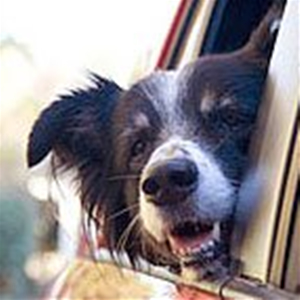 Merlin, an Australian Shepherd, leans his head out of the Merlinmobile