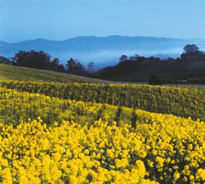 Field of Mustard, in Napa Valley
