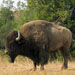 Bison in the wild