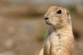 Prairie dog standing on hind legs