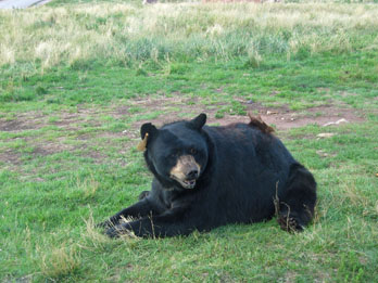 Black Bear at Bear Country USA