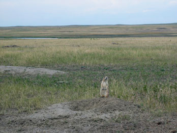 Prairie Dog keeping a lookout, Badlands National Park