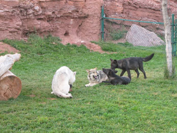 Wolf cubs playing, Bear Country USA