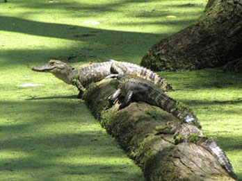 Alligators resting on a log at Cypress Swamp