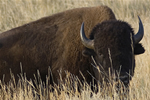 A buffalo grazes in the Gallatin National Forest in SW Montana