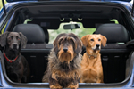 Three dogs in back of car