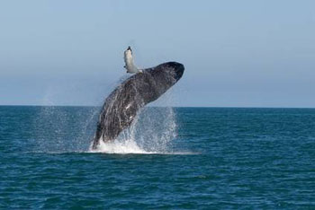 Whale breaching from the sea